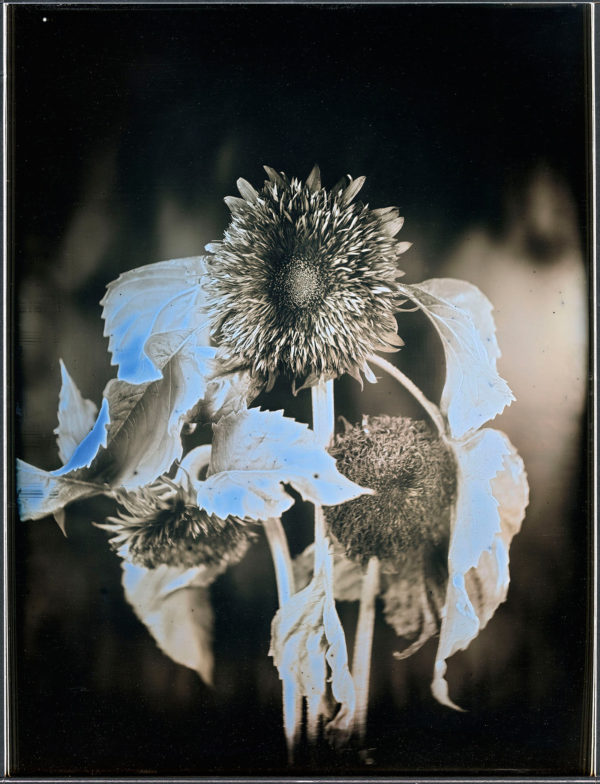July 28  2013  Sunflowers  No.10  Kabaniwa  Soma, Daguerreotype, unique, 25.2 x 19.3 cm ©Takashi Arai