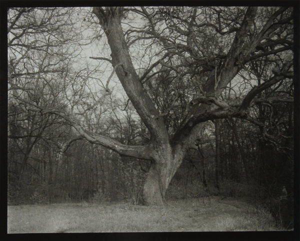 Tree in Woods, gelatin silver print, 297 x 398 mm, ©Josef Sudek