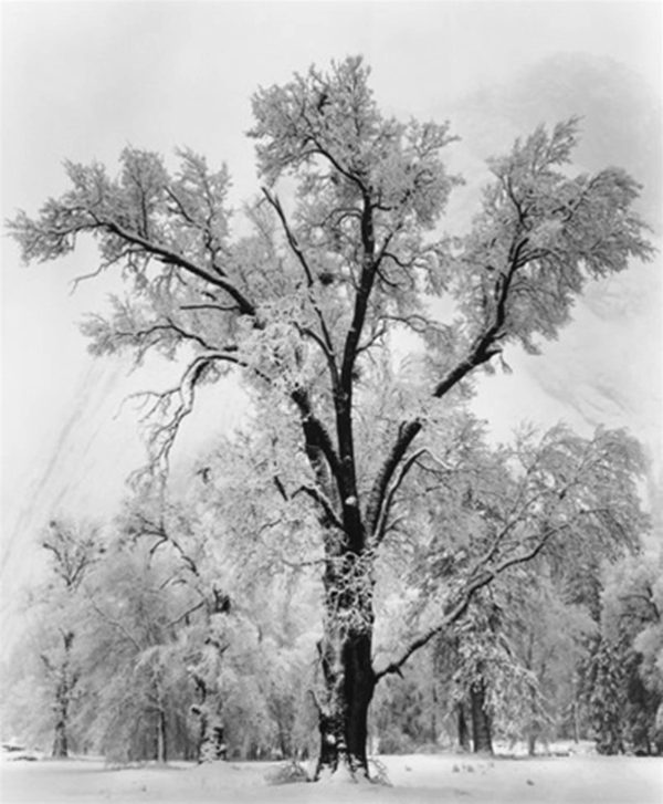"""Oak Tree, Snowstorm, 1948, gelatin silver print, 8 x 10"""" on 14 x 17"""" mat, ©The Ansel Adams Publishing Rights Trust"""