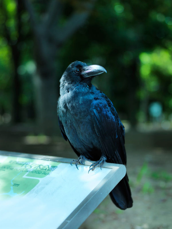 Crow, chromogenic color print:2015, edition of 3, 600 x 900 mm ©Hiroyuki Takenouchi