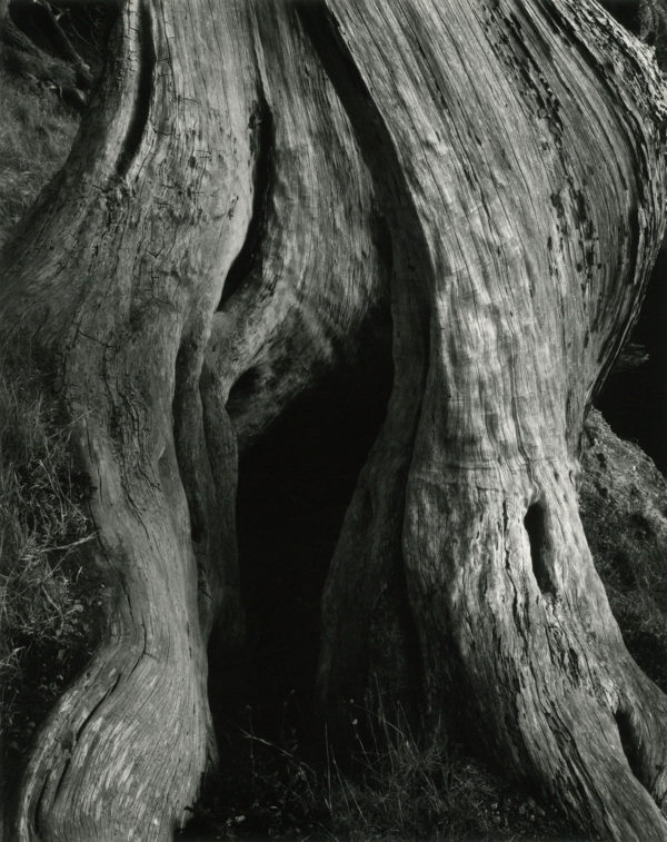 Cypress Trunk  Point Lobos  1930, gelatin silver print by Cole Weston in 1970s - 1980, 7 1/2 x 9 1/2 in © 1981 Center for Creative Photography, Arizona Board of Regents