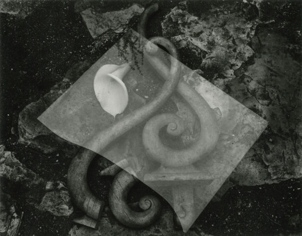 Glass and Lily  1939, gelatin silver print by Cole Weston in 1970s - 1980, 7 1/2 x 9 1/2 in © 1981 Center for Creative Photography, Arizona Board of Regents