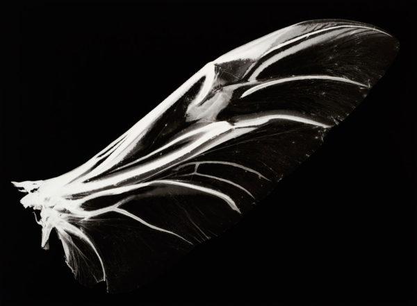 Lucanus maculifemoratus, gelatin silver print:2008, edition of 3, 16 x 20 in ©Kazuyuki Soeno