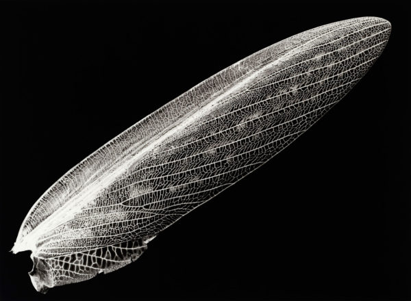 Tenodera aridifolia, gelatin silver print:2008, edition of 3, 16 x 20 in ©Kazuyuki Soeno
