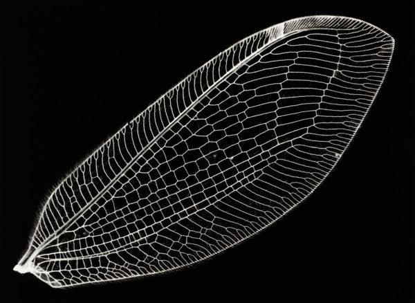 Osmylus tessellatus, gelatin silver print:2008, edition of 3, 16 x 20 in ©Kazuyuki Soeno