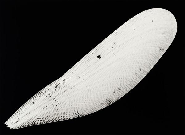 Calopteryx atrata, gelatin silver print:2008, edition of 3, 16 x 20 in ©Kazuyuki Soeno