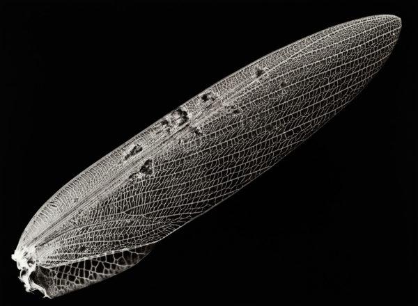 Tenodera angustipennis, gelatin silver print:2008, edition of 3, 16 x 20 in ©Kazuyuki Soeno
