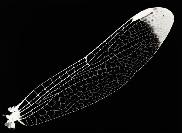 Sympetrum infuscatum, gelatin silver print:2008, edition of 3, 16 x 20 in ©Kazuyuki Soeno