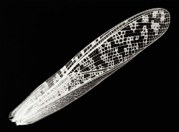 Locusta migratoria, gelatin silver print:2008, edition of 3, 16 x 20 in ©Kazuyuki Soeno