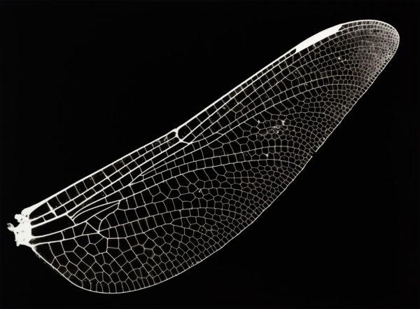 Sieboldius albardae, gelatin silver print:2008, edition of 3, 16 x 20 in ©Kazuyuki Soeno