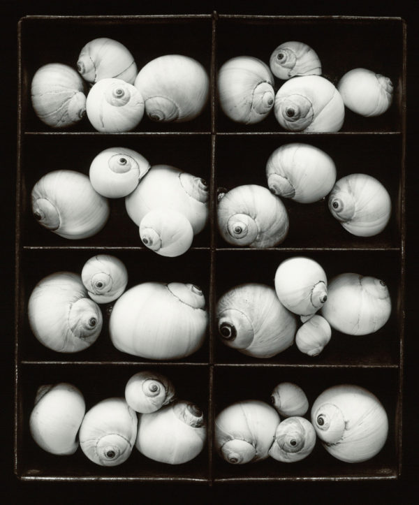 Moonsnails  1978, toned silver print : 1984, edition of 117/150, 11 x 14 in ©Olivia Parker