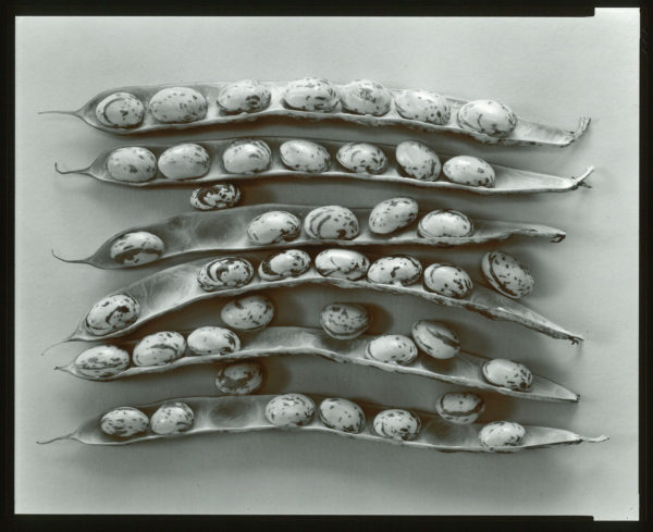 Shell Beans  1979, toned silver print : 1980, edition of 27/85, 11 x 14 in ©Olivia Parker