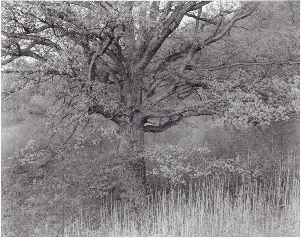 """Oak Tree  Holmdel  New Jersey  1976, gelatin silver print:1980, 10 1/2 x 13"""" on board ©George Tice"""