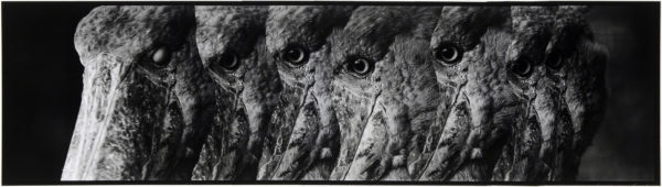 Shoebills・I  2008, gelatin silver print on watercolor paper with glue, 160×565mm limited edition #1/1 ©Yoshihiko Ito