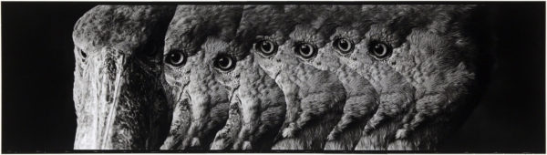 Shoebills・II  2008, gelatin silver print on watercolor paper with glue, 160×565mm limited edition #1/1 ©Yoshihiko Ito