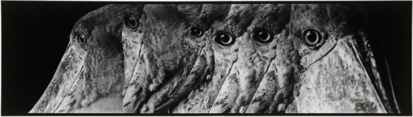 Shoebills・III  2008, gelatin silver print on watercolor paper with glue, 160×565mm limited edition #1/1 ©Yoshihiko Ito