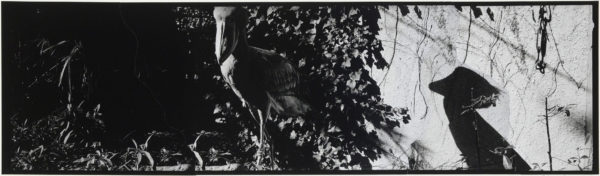 Shoebill and Shadow・II  2008, gelatin silver print on watercolor paper with glue, 115×405mm limited edition #1/1 ©Yoshihiko Ito