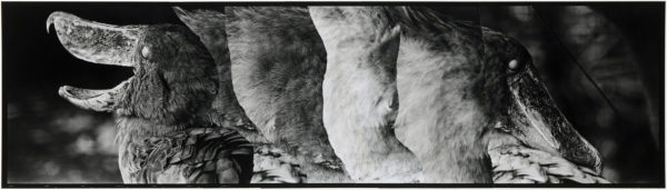Shoebills・VI  2008, gelatin silver print on watercolor paper with glue, 160×565mm limited edition #1/1 ©Yoshihiko Ito