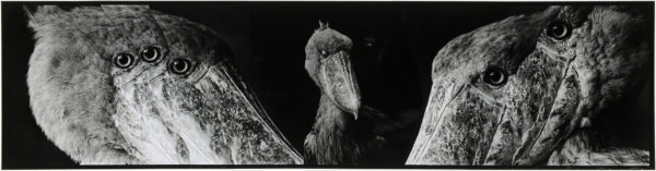 Shoebills・VII  2008, gelatin silver print on watercolor paper with glue, 160×565mm limited edition #1/1 ©Yoshihiko Ito