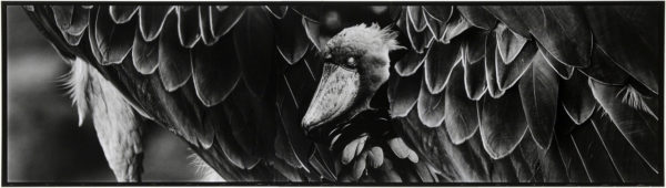 Shoebill・VIII b  2008, gelatin silver print on watercolor paper with glue, 160×565mm limited edition #1/1 ©Yoshihiko Ito