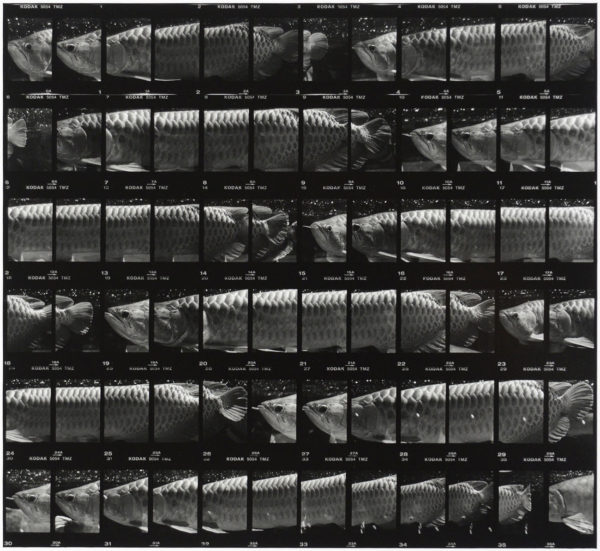 cp.0675 アジアアロワナ II  2001, Gelatin silver print, Limited edition of 5, 11x14 in, ©Yoshihiko Ito