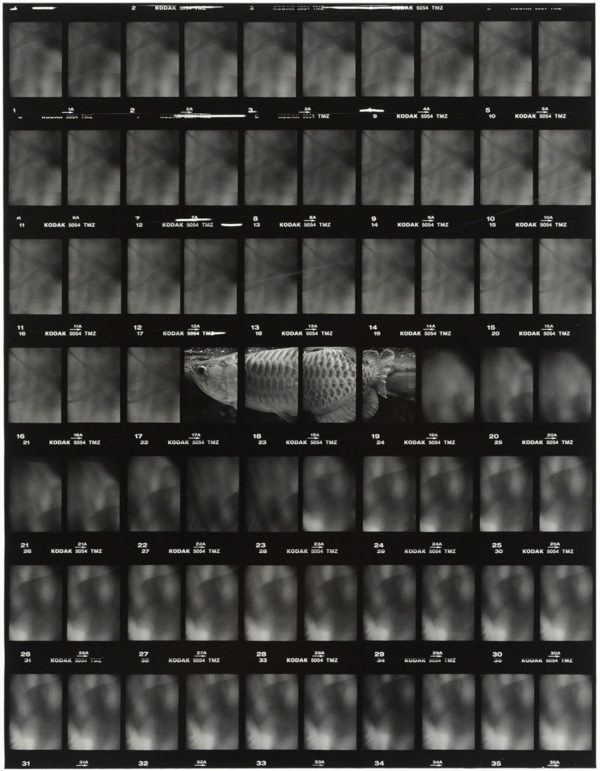 cp.0677 アジアアロワナ IV  2001, Gelatin silver print, Limited edition of 5, 11x14 in, ©Yoshihiko Ito