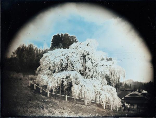 2011年4月25日  三春滝桜 No.2, ダゲレオタイプ, unique, 19.3 x 25.2 cm ©Takashi Arai