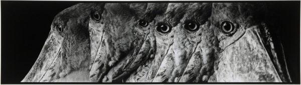 ハシビロコウ・III  2008, Gelatin silver print on watercolor paper with glue, 160×565mm, limited edition #1/1 ©Yoshihiko Ito