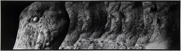 ハシビロコウ・IV  2008, Gelatin silver print on watercolor paper with glue, 160×565mm, limited edition #1/1 ©Yoshihiko Ito