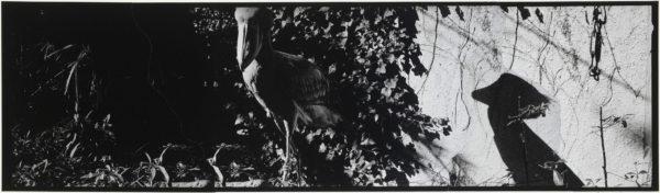 ハシビロコウと影・II  2008, Gelatin silver print on watercolor paper with glue, 115×405mm, limited edition #1/1 ©Yoshihiko Ito