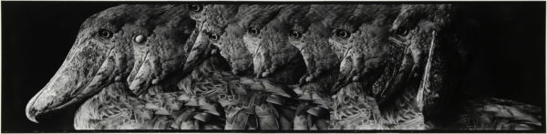 ハシビロコウ・V  2008, Gelatin silver print on watercolor paper with glue, 160×565mm, limited edition #1/1 ©Yoshihiko Ito