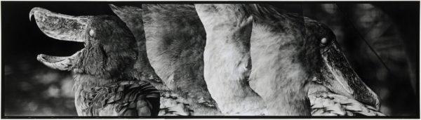 ハシビロコウ・VI  2008, Gelatin silver print on watercolor paper with glue, 160×565mm, limited edition #1/1 ©Yoshihiko Ito