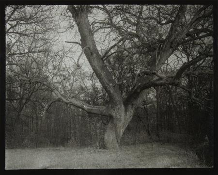Tree in Woods, gelatin silver print, 297 x 398 mm ©Josef Sudek