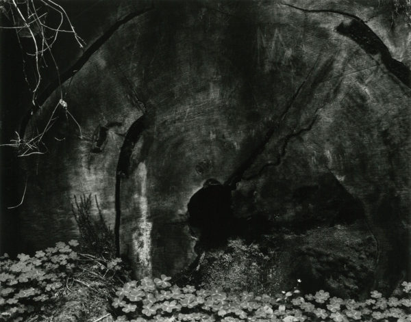Redwood Stump,1937, gelatin silver print by Cole Weston in 1970s - 1980, 7 1/2 x 9 1/2 in, ©1981 Center for Creative Photography, Arizona Board of Regents