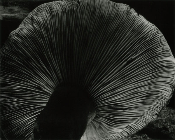 Toadstool, 1931, gelatin silver print by Cole Weston in 1970s - 1980, 7 1/2 x 9 1/4 in, ©1981 Center for Creative Photography, Arizona Board of Regents