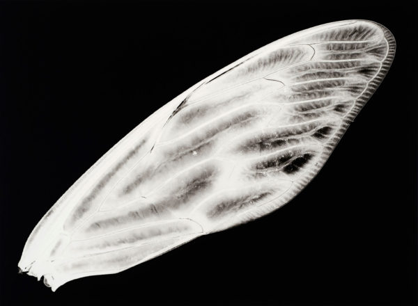 アブラゼミ, gelatin silver print:2008, edition of 3, 16 x 20 in, ©Kazuyuki Soeno