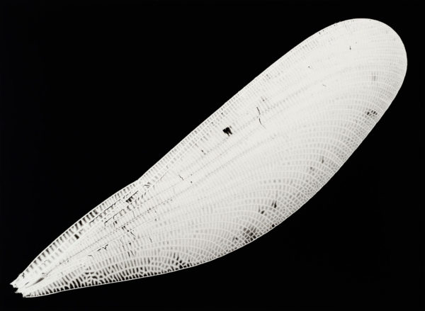 ハグロトンボ, gelatin silver print:2008, edition of 3, 16 x 20 in, ©Kazuyuki Soeno