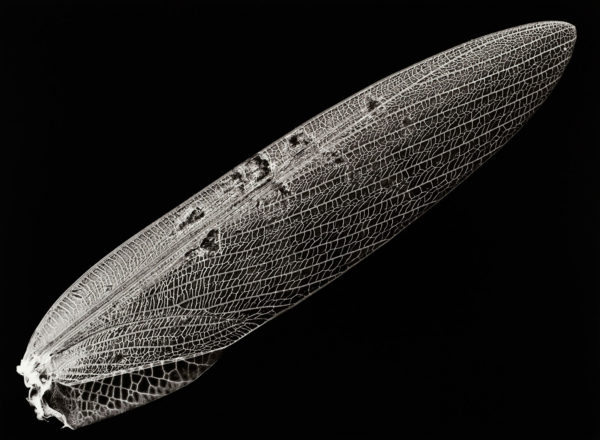 チョウセンカマキリ, gelatin silver print:2008, edition of 3, 16 x 20 in, ©Kazuyuki Soeno