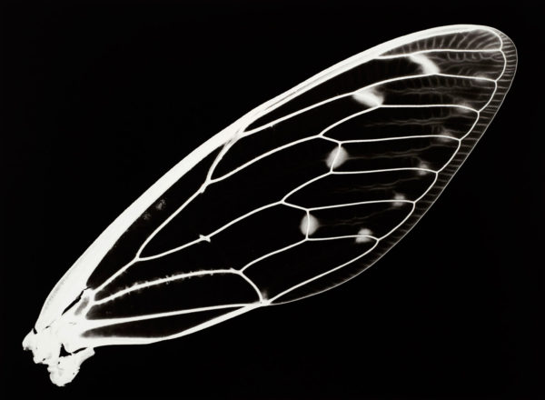 ミンミンゼミ, gelatin silver print:2008, edition of 3, 16 x 20 in, ©Kazuyuki Soeno