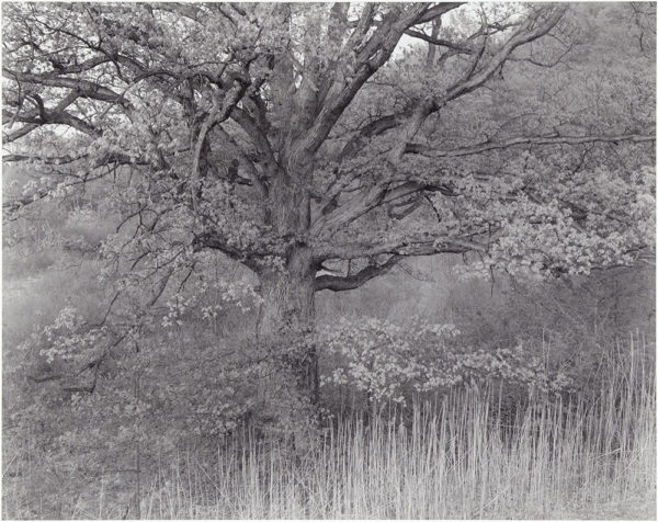 "Oak Tree  Holmdel  New Jersey  1976, gelatin silver print:1980, 10 1/2 x 13"" on board ©George Tice"